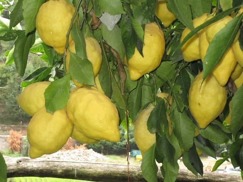 buonocore amalfi lemons italian farms in maiori amalfi